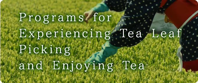 お茶摘み体験 / お茶体験プログラム